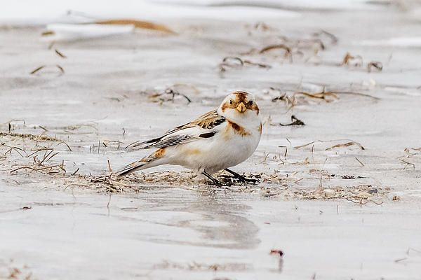 Snow Bunting Wikipedia:  http://en.wikipedia.org/wiki/Snow_bunting Prints at http://fineartamerica.com/featured/1-snow-bunting-saurav-pandey.html calcariidae, p. nivalis, plectrophenax, plectrophenax nivalis, arctic specialist, bird, bunting, ice, passerine bird, snow, snow bunting, snowflake, winter, Point Lookout, New York, United States,