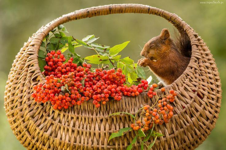 Wiewiórka, Jarzębina, Koszyk