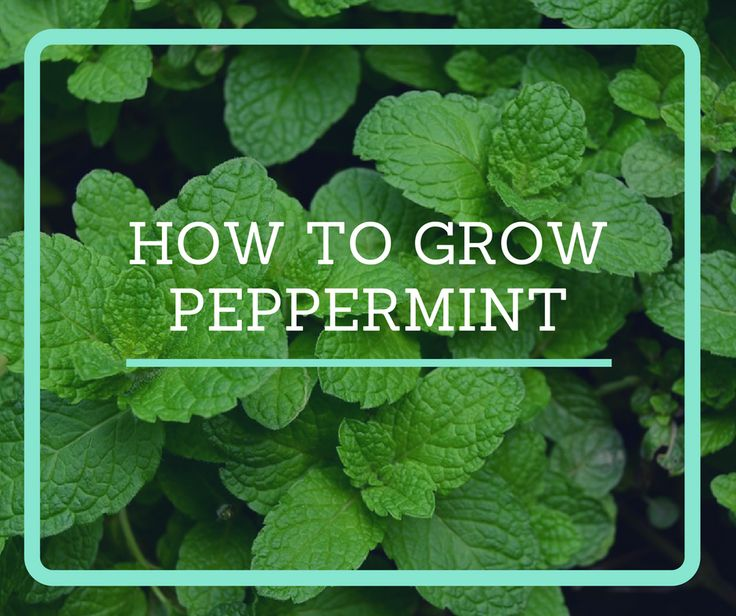 25 Best Ideas About Growing Cabbage On Pinterest: 25+ Best Ideas About Peppermint Tea On Pinterest