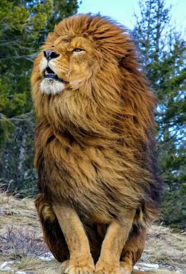 Hermoso, elegante.  Rey de la selva y su postura lo confirma.  Esta muy seguro de quien es y tiene muy claro lo que quiere.  Puedo aprender mucho con el.