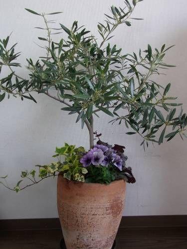 オリーブの木の足下のビオラがもう終わりだったので植え替えを。まぁ、ペチュニアに替えただけなんですが。。。ヒューケラ・シナバーシルバーも蕾があがってきました。これは、記憶が確かなら、サーモンオレンジのお花が咲く予定。ヒューケラは葉色が決め手だけど、これだけはお花が気に入って買ったの。このオリーブの木は、娘が産まれた時に記念に小さな苗を購入したものです。かれこれ11年経つのね・・・。殆どほったらかしだけど、毎年お花も沢山咲いています。でも、異種受粉だから、1種類1本だと実がならないの。だから、作秋に園芸市で別のオリーブを買いました。こっちも足下をリメイク。植物自由区さんのバーベナも咲き出した~。大好きなセリンセも。今年こそは実がなるかなぁ・・・。でも、この新しいオリーブ、蕾がまだ見当たらないんだけど、咲かないつもり...