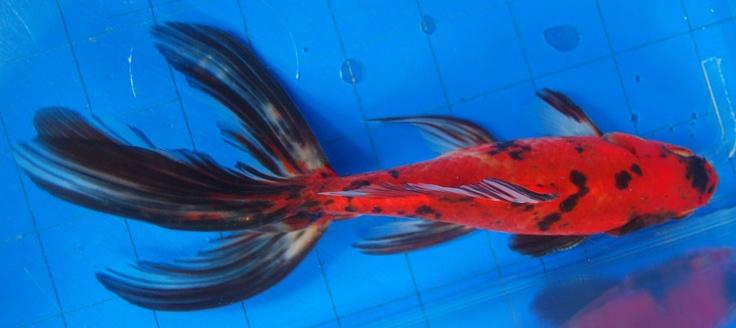 Goldfish Wonderful Watonai Shubunkin Goldfish Goldfish Fish Pet