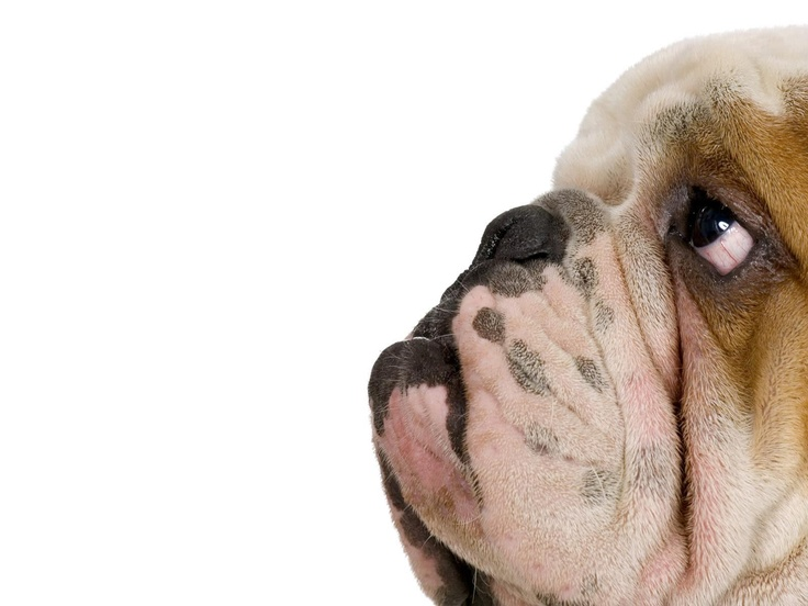 <3: Face, Animals, Funny Dogs, English Bulldogs, Pets, Wallpapers, Bullies