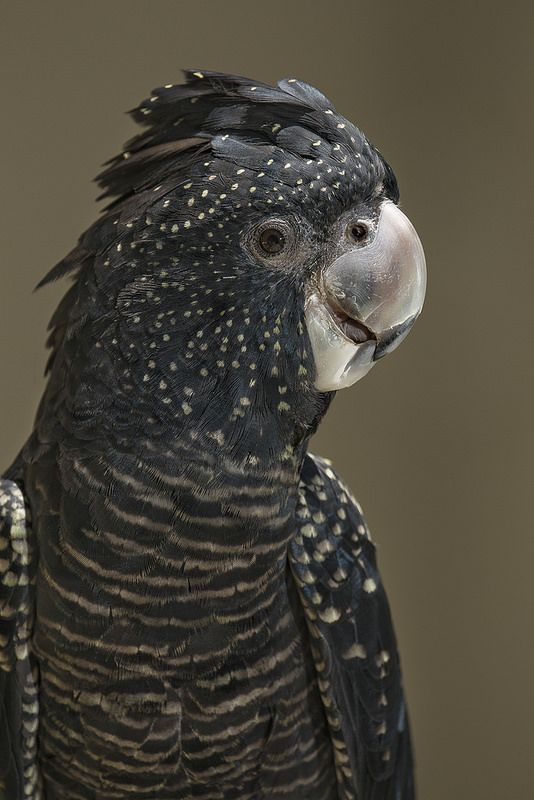 Red-tailed black cockatoos are incredibly smart birds with big personalities.