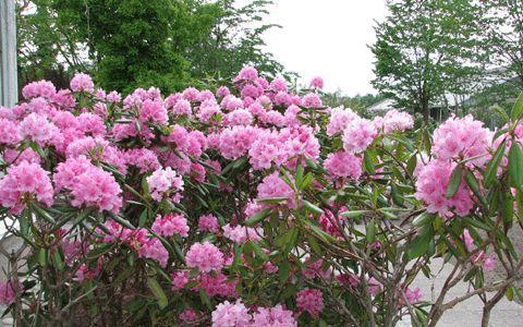 Puiden varjossa, pohjoisen puolella, hieman varjoisemmassa viihtyvä ikivihreä alppiruusu ei jätä ainakaan kukkiessaan ketään kylmäksi!