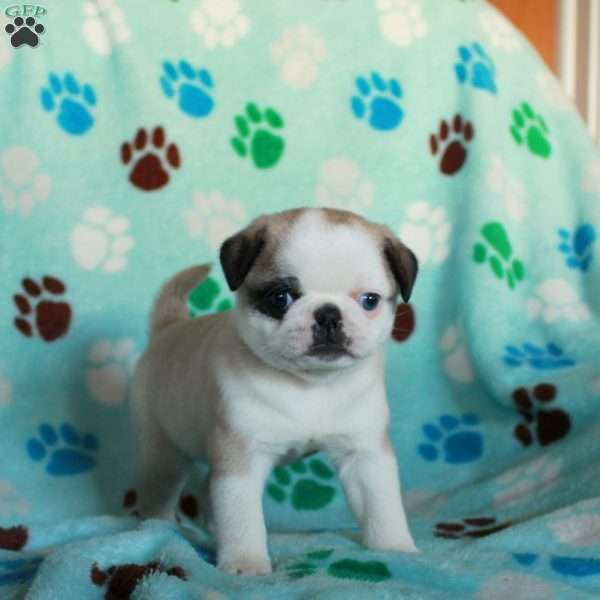 Baxter Panda Pug Puppy For Sale In Pennsylvania Pug Puppies