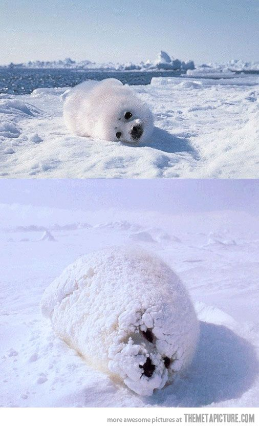 Seal, do a barrel roll! - The Meta Picture... I like my baby seal with powdered sugar