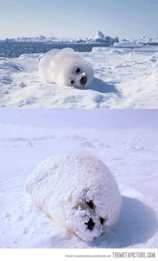 I like my baby seal with powdered sugar
