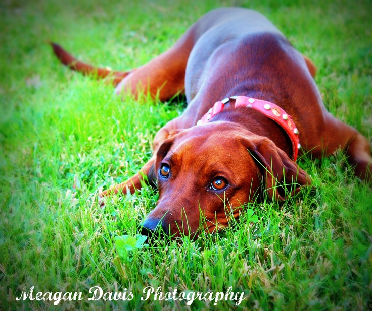 My Red bone coon hound- Lily pet photography