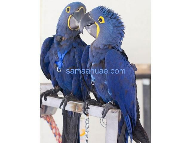 Hyacinth Macaw Birds and Fertile Eggs for sale