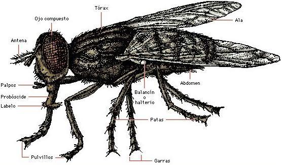 Resultado de imagem para mosca partes