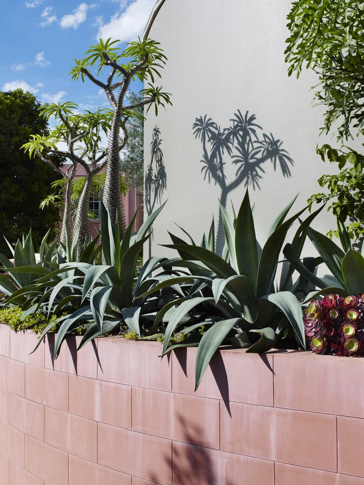 Agave weberi and pachypodium