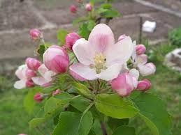 Jabloň Domácí