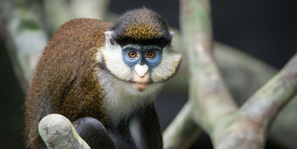 3 Spot-Nosed Guenon Monkeys Killed by Dogs!!  Justice for Hadiah, Hope, Mopani and 18 other animals! Investigate the Baton Rouge Zoo, Louisiana!!  Twenty-one animals have tragically lost their lives at the BREC Baton Rouge Zoo in 2016.