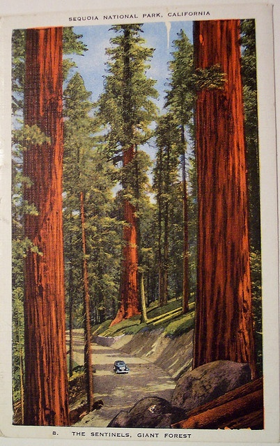 Vintage Postcard - Sequoia National Park, California by riptheskull, via Flickr