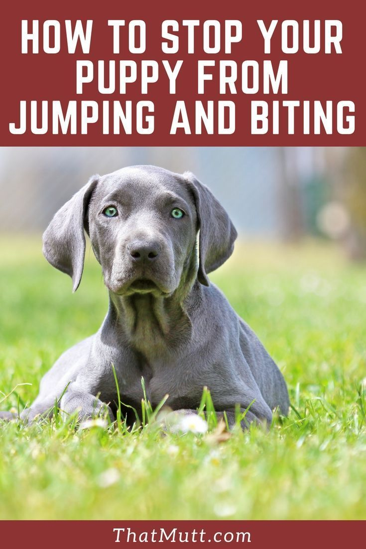 How To Stop My Puppy From Biting Jumping Puppies Dog Training