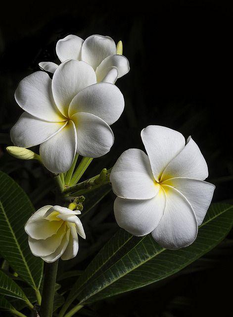 Plumeria With White Petals And Yellow Centers Plumeria Pinterest