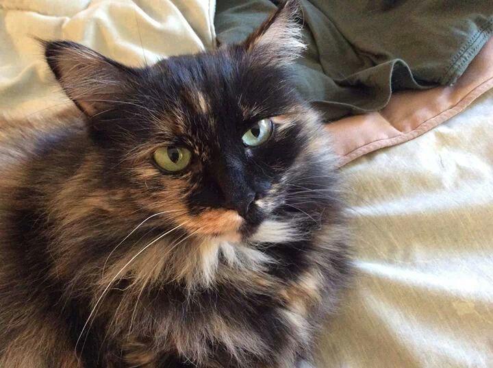 fluffy calico cat - photo #3