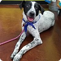 Pictures of Mowgli- Adoption Pending! a Border Collie/Pointer Mix for adoption in Potomac, MD who needs a loving home.