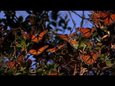 A flutter of monarchs during their annual migration. I'd love to see this someday!