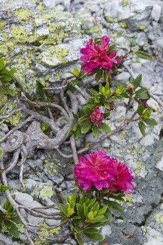 rhododendron ferrugineum flowers, lemma mountan, lombardy, italy