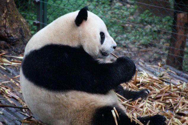 El centro de investigación y cría de Osos Panda de Chengdu , es el mejor lugar donde ver este precioso animal y a su hermano el Panda rojo , donde en unas