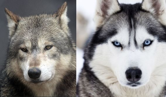 White Wolf : 14 of Your Dog's Wild Relatives