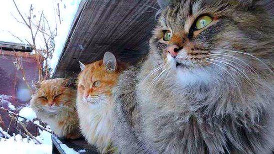Суровая сибирская братва - это вам не лысые египетские кошки!