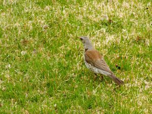 Song Thrush-Grive Musicienne