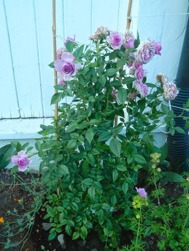 Hjertetunet: Noen roser fra hagen