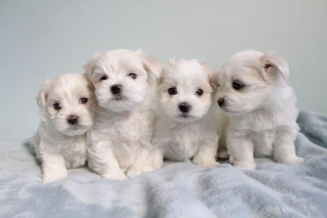Welcome To Our Teacup Maltese Home - AVAILABLE PUPS