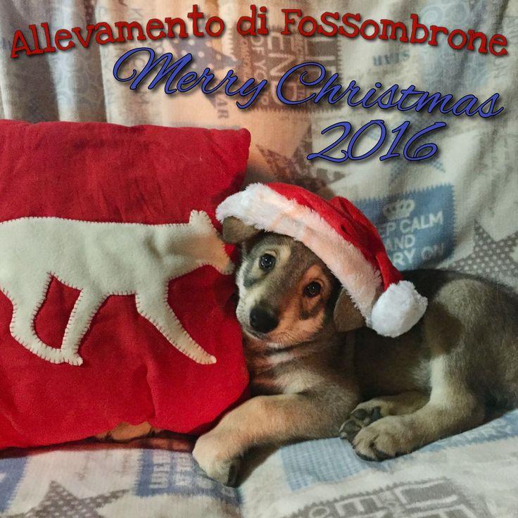 L'Allevamento di Fossombrone augura a tutti BUON NATALE!!! Merry Christmas!!! 🎄☃🍷🎁🔔🍰🐺 auguri #natale2016 #xmas