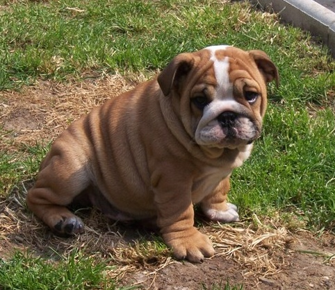 shar pei french bulldog mix 8 best images about bullpei on pinterest follow me 961