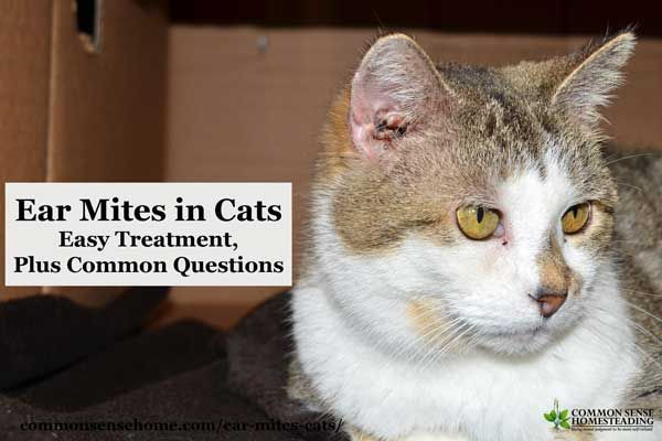 An easy, non-toxic home remedy for ear mites in cats, plus answers to common cat ear mite questions such as whether or not the little buggers are catchy.