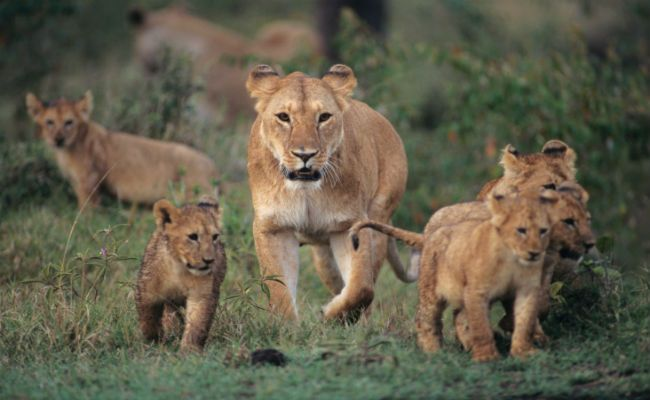 Amazing News! Scientists Have Just Discovered a Hidden Group of Lions
