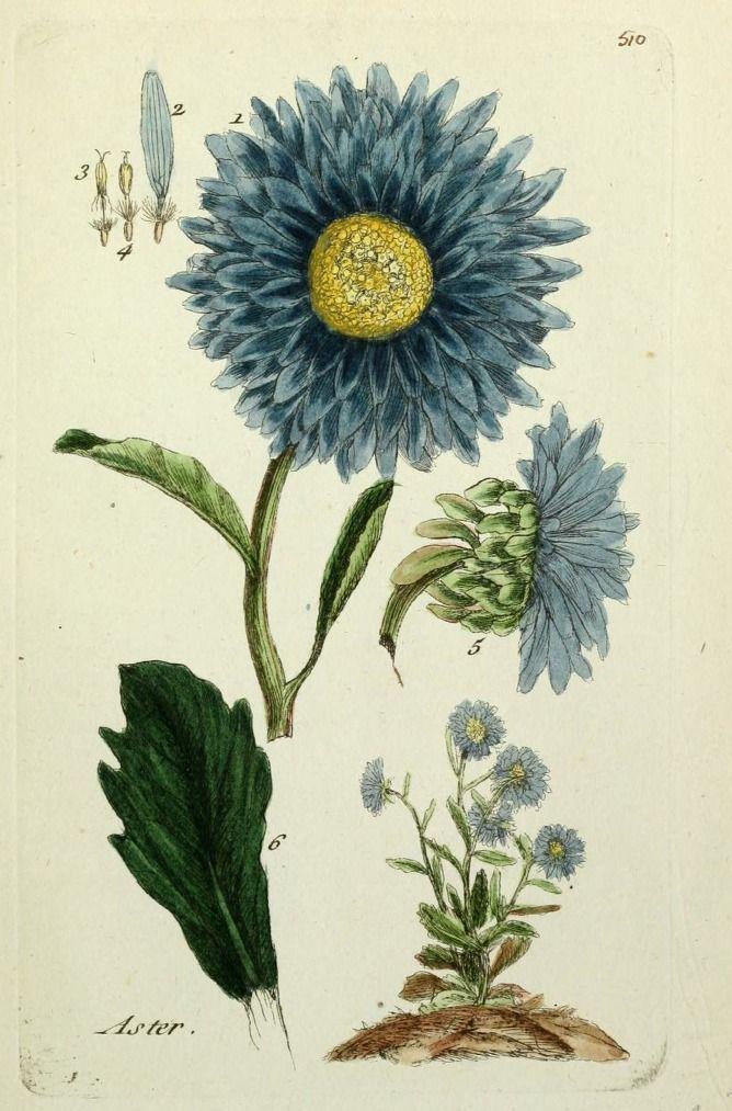Aster (Pierre Bulliard 1780) Botanical drawings