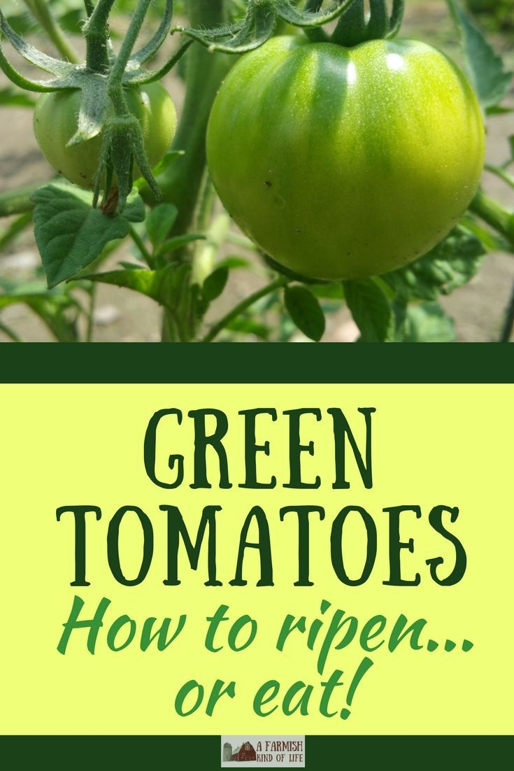 Staring at a plethora of green tomatoes? I'm here to tell you that you've got two options for how to deal: grab a paper bag...or a frying pan.