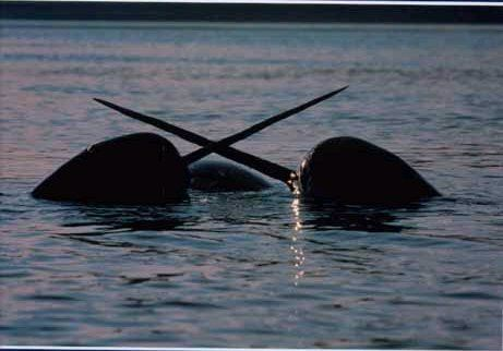 Narwhals narwhals swimming in the sea