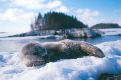 Baby ringed seal in Saimaa