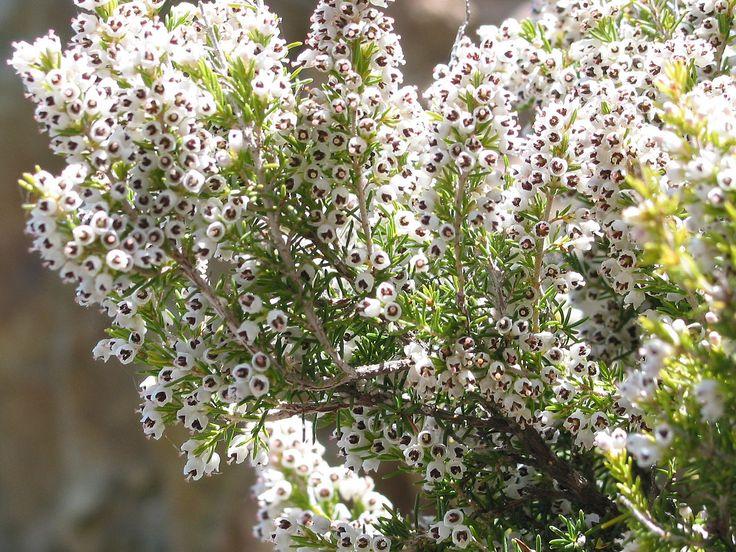 Tree heather (E. Arborea)