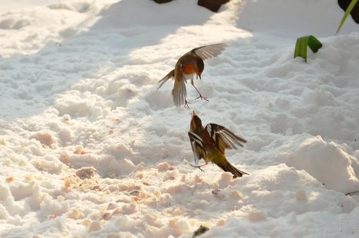 Uccelletti che litigano davanti a casa
