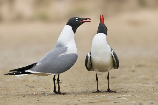 Two laughing Gulls (Larus atricilla) are seen at South Padre Island, Texas, United States of America