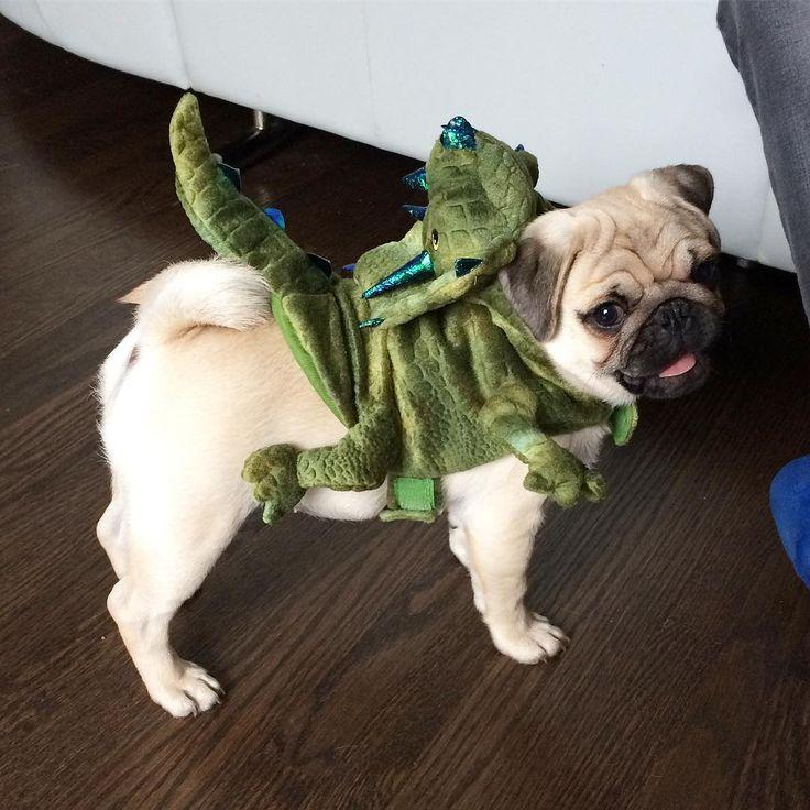best 25 pug halloween costumes ideas on pinterest pug