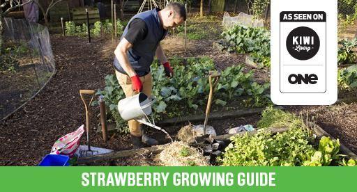 Strawberry Growing Guide | Tui Garden