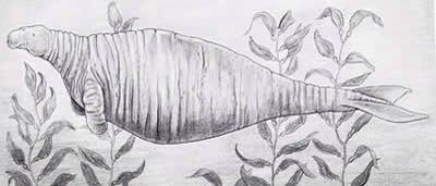 Steller's Sea Cow: Extinct 1768.
