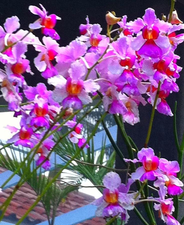17 best images about garden orchids on pinterest vanda orchids orchid plants and dendrobium - Vanda orchid care ...