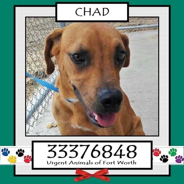 URGENT!!! *Fort Worth, TX - Current Status: URGENT - can be added to the euthanasia list at any time  Reason for URGENT: Heartworm Positive ** CHAD is at HIGH RISK of being added to the euthanasia list due to testing heartworm positive. He is a 1 year old Shepherd mix, who weighs 40 lbs. ID 31062296