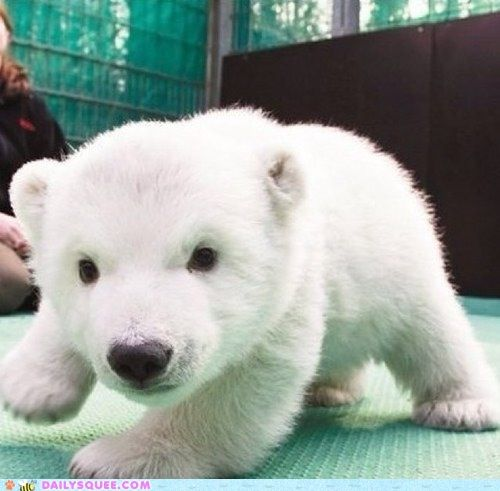 adorable baby polar bear