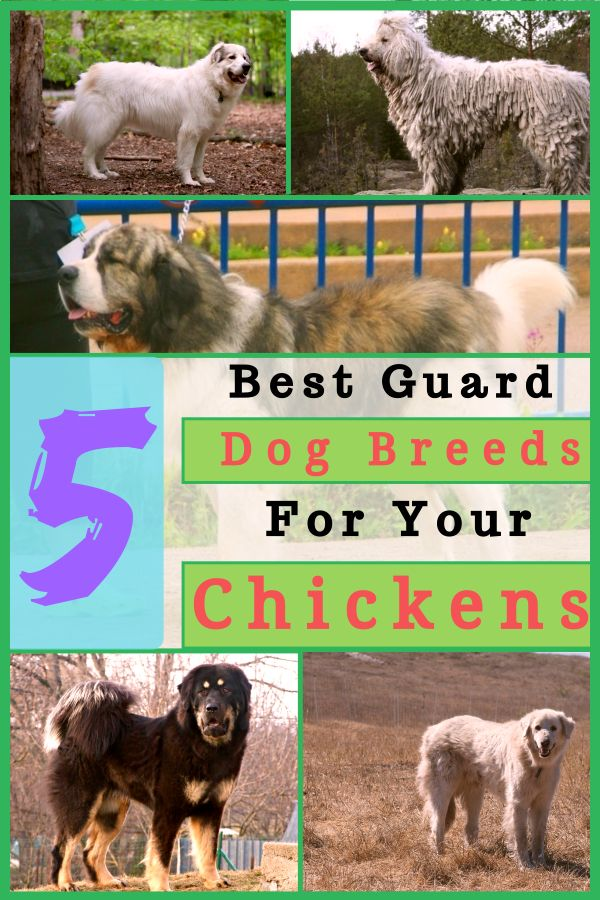 5 Best Guard Dog Breeds For Your Chickens Poultry Best Guard