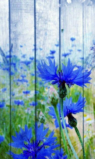39 Best ♡ Flowers Cornflowers ♡ Images On Pinterest